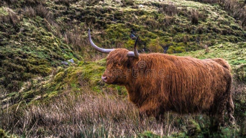 Vaca peluda de la montaña en North Yorkshire, Reino Unido fotografía de archivo
