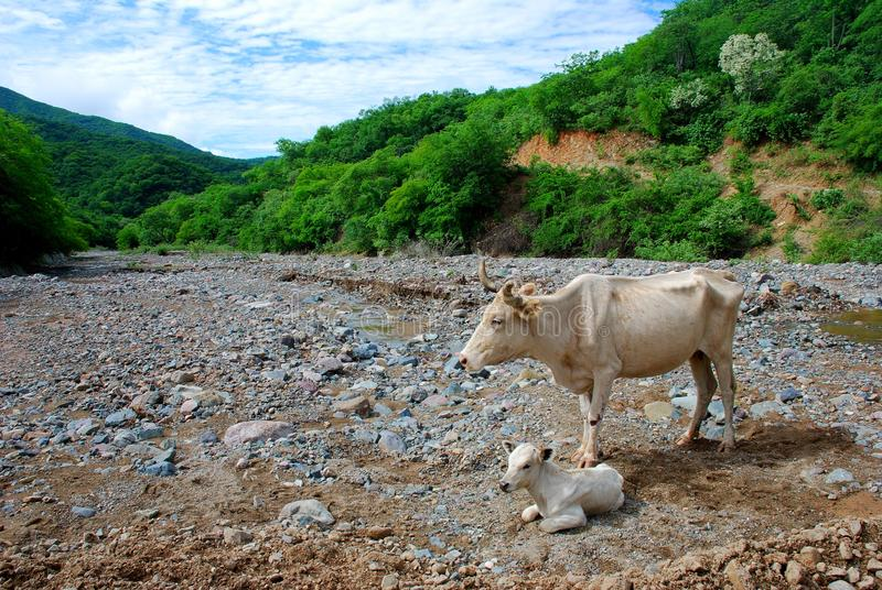 vaca pequena do bebê com sua mãe foto de stock