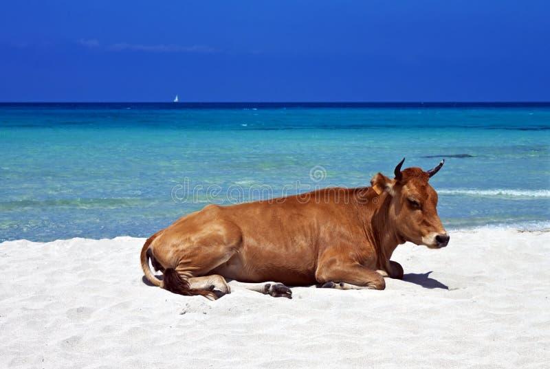 Vaca perezosa, playa de Saleccia, Córcega imágenes de archivo libres de regalías