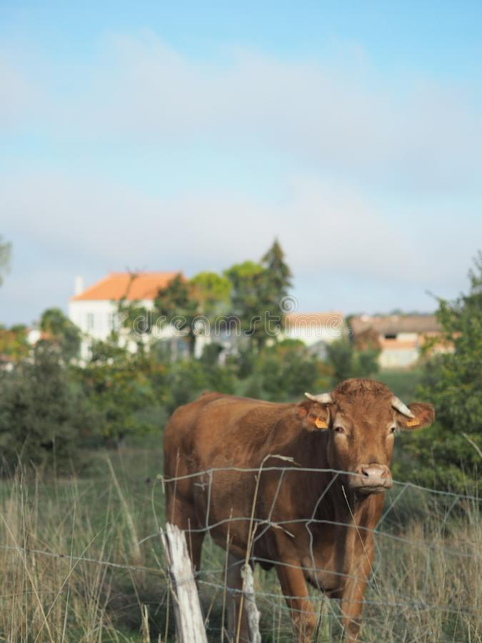 Vaca perto de La Rochelle foto de stock royalty free