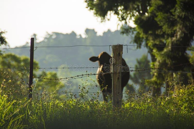 Vaca por una cerca del país fotos de archivo