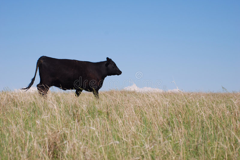 Vaca preta de Angus imagens de stock royalty free