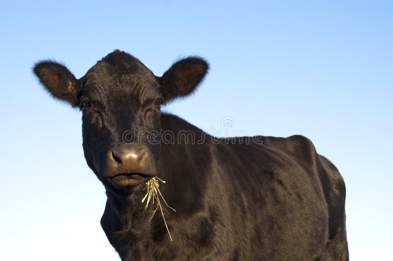 Vaca preta de Angus imagens de stock