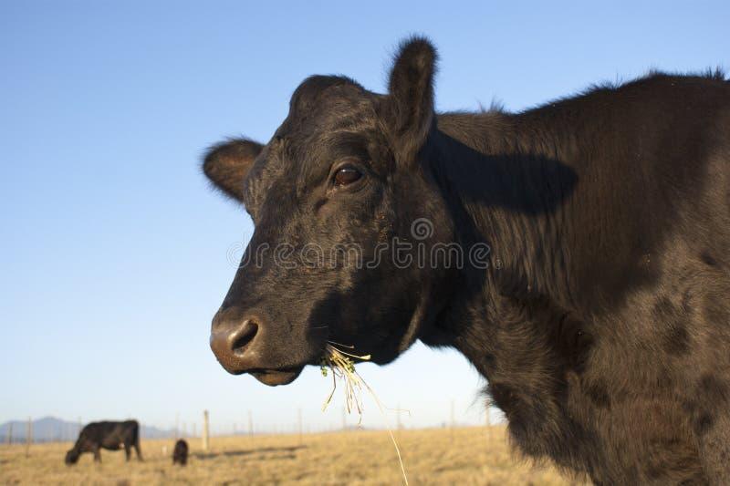 Vaca preta de Angus foto de stock royalty free