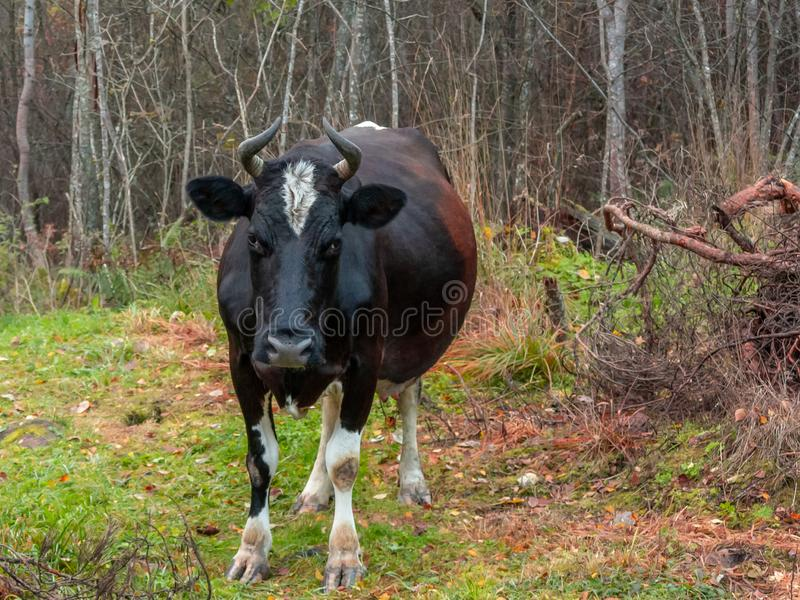 A vaca preta vagueada vagueou na floresta imagens de stock