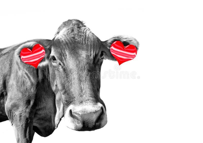 Vaca preto e branco do divertimento com os brincos vermelhos dos corações no fundo branco foto de stock