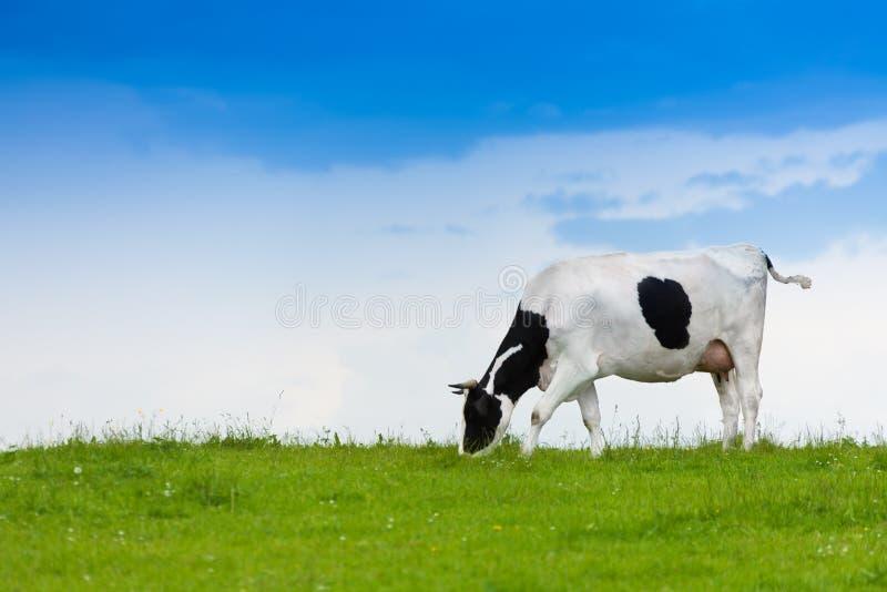 Vaca que come a grama foto de stock