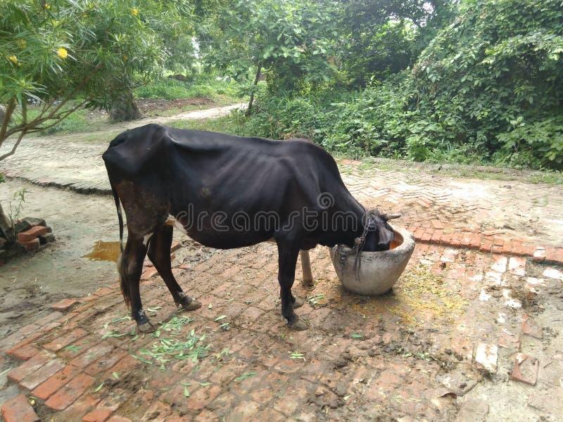 Vaca que come la comida en fondo natural fotografía de archivo libre de regalías