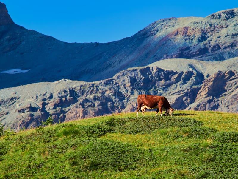 Vaca que come la hierba en las montañas suizas fotografía de archivo