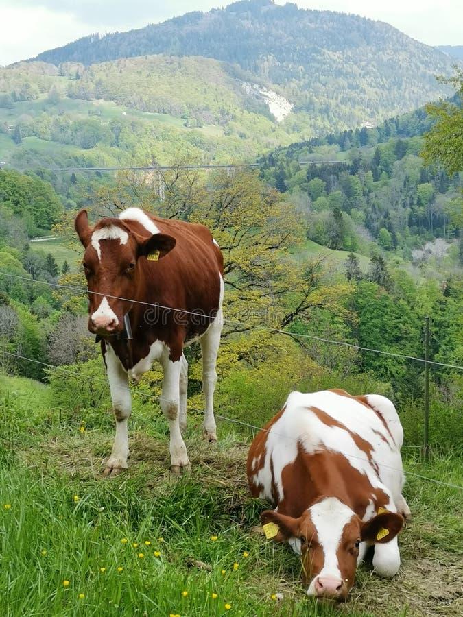 vaca 2 que descansa en los campos en Suiza imagenes de archivo