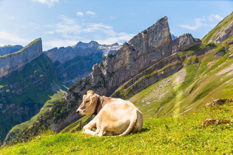 Vaca que encontra-se na grama foto de stock royalty free