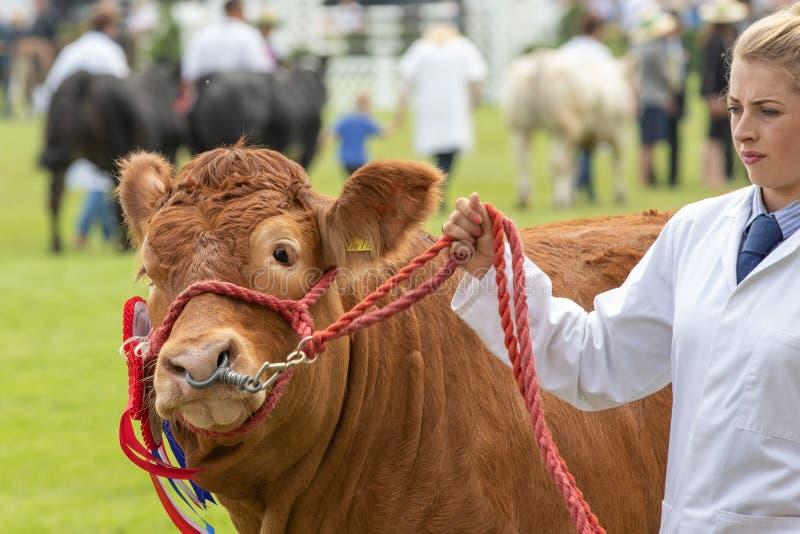Vaca que julga na grande mostra de Yorkshire foto de stock