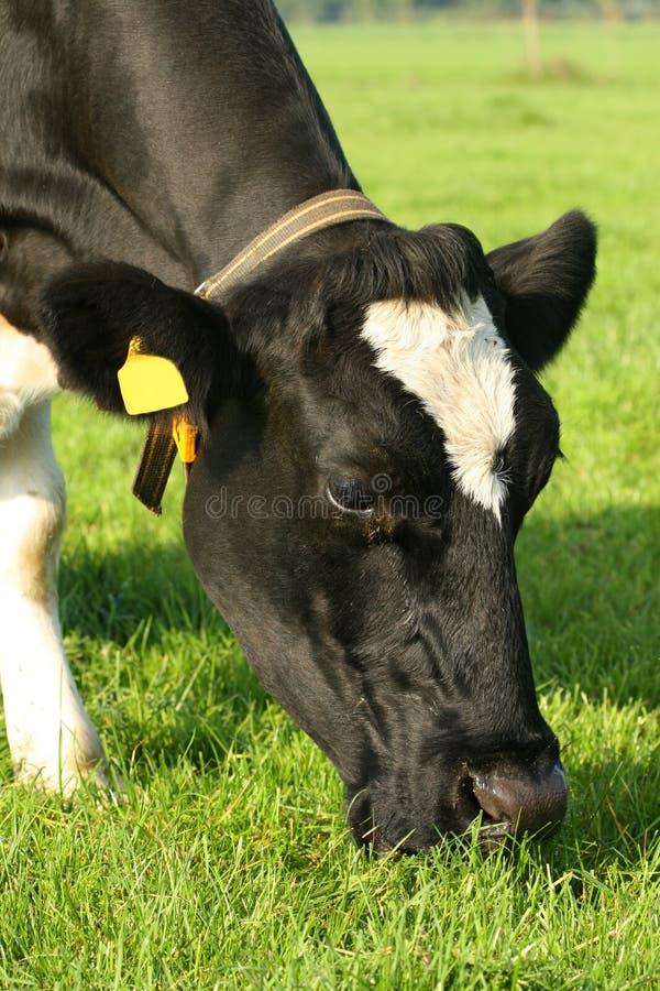 Vaca que pasta imagen de archivo