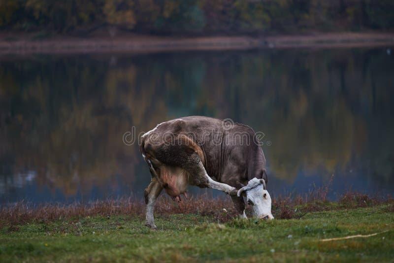 Vaca que pasta en el prado imagen de archivo libre de regalías