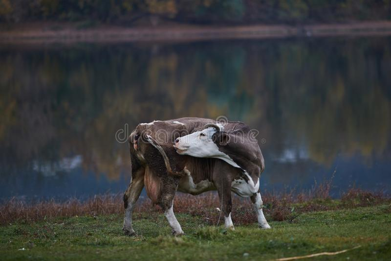 Vaca que pasta en el prado imágenes de archivo libres de regalías