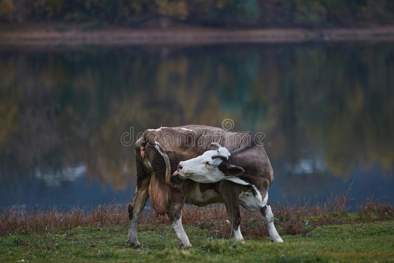 Vaca que pasta en el prado foto de archivo