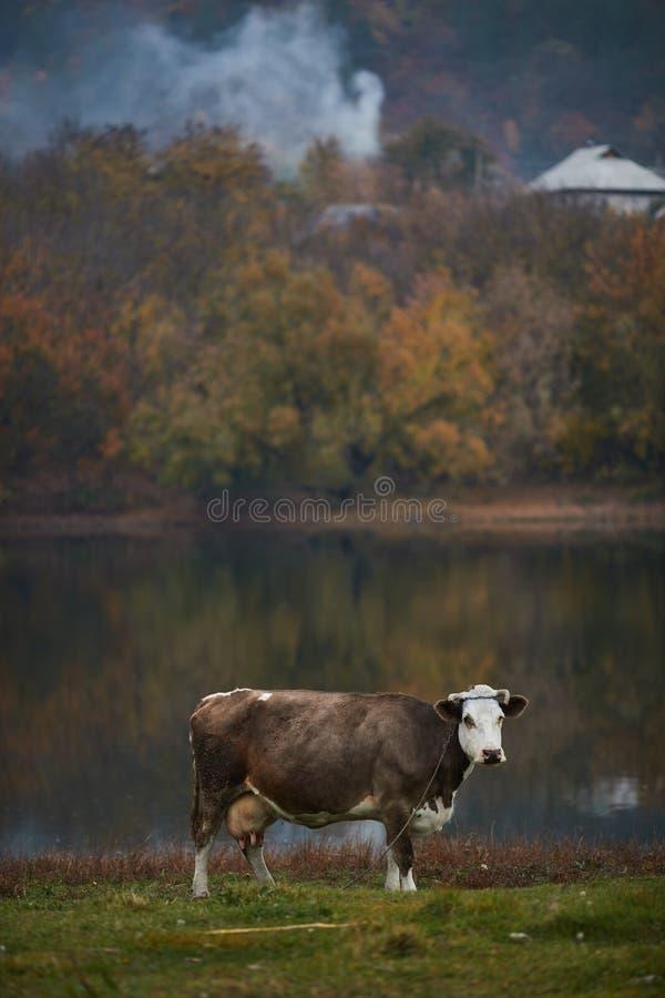 Vaca que pasta en el prado fotos de archivo