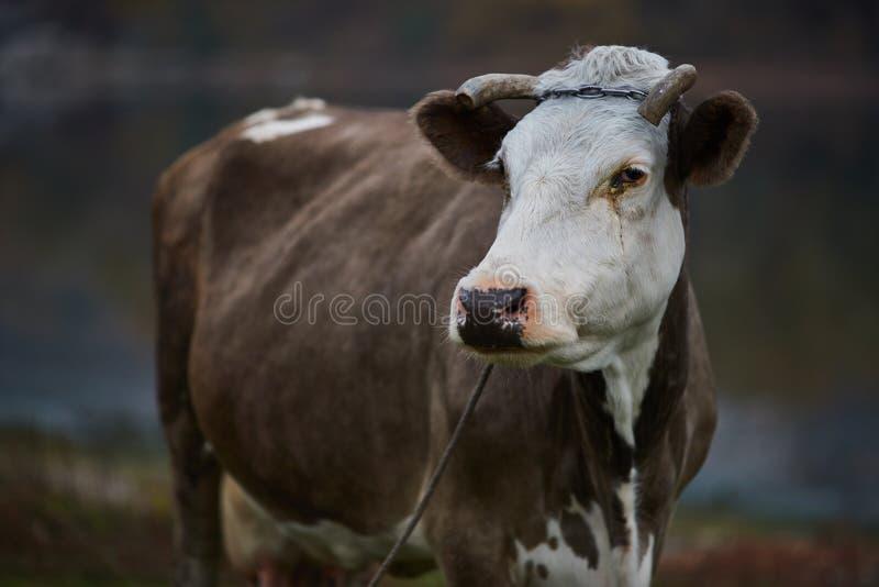 Vaca que pasta en el prado fotos de archivo libres de regalías