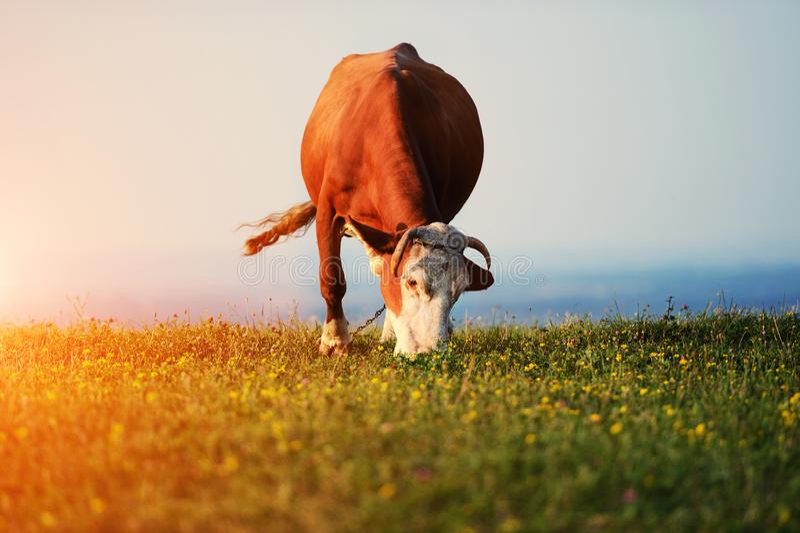 vaca que pasta en un fondo de montañas foto de archivo libre de regalías