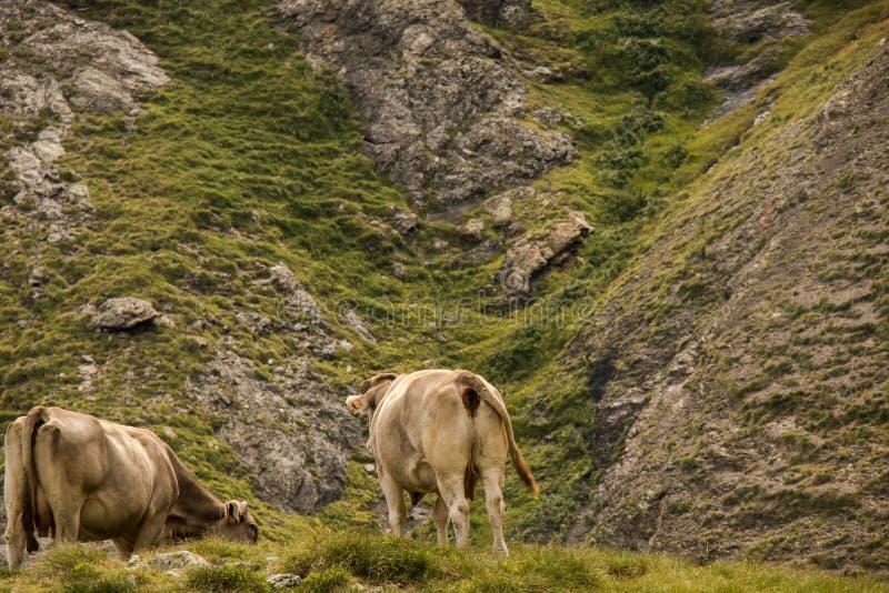 Vaca que pasta nas montanhas fotos de stock royalty free