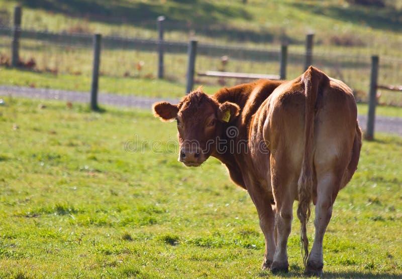 Vaca roja fotografía de archivo libre de regalías