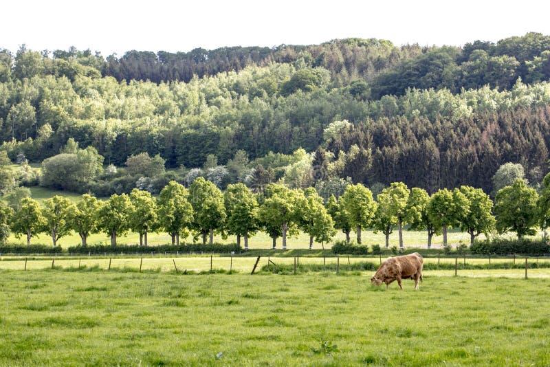 Vaca roja en un pasto grande imagen de archivo libre de regalías