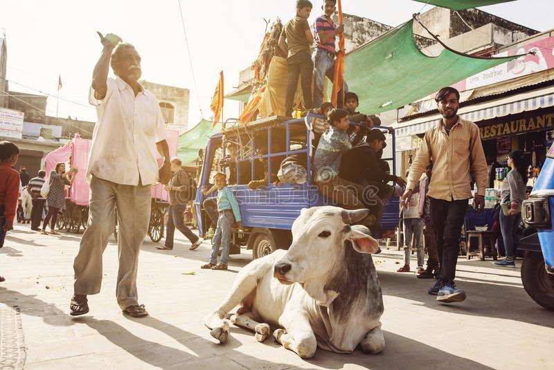 Vaca santamente que anda livremente nas ruas da cidade de Pushkar foto de stock