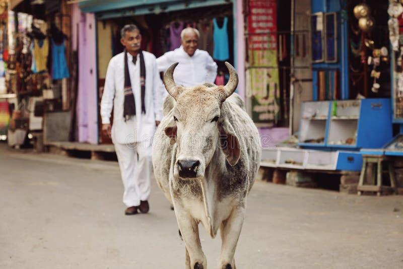 Vaca santamente que anda livremente nas ruas da cidade de Pushkar fotografia de stock royalty free