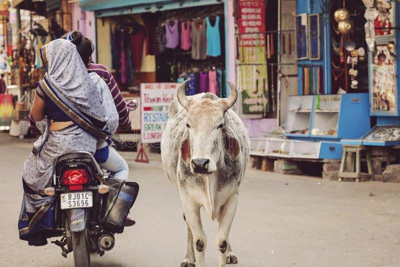 Vaca santamente que anda livremente nas ruas da cidade de Pushkar imagem de stock royalty free