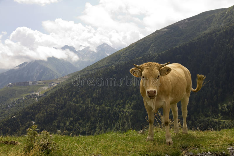 Vaca sobre uma montanha imagens de stock