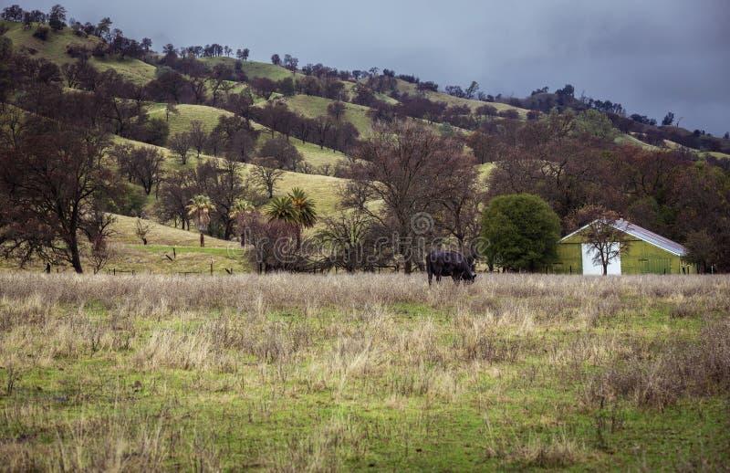 Vaca solitária & o celeiro verde imagens de stock
