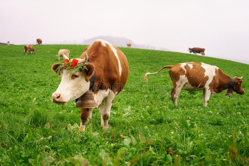 Vaca suíça foto de stock royalty free