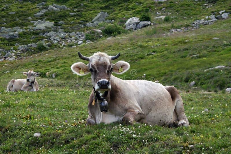 Vaca suiza imágenes de archivo libres de regalías
