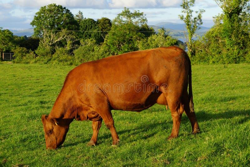 Vaca vermelha de Angus imagem de stock royalty free