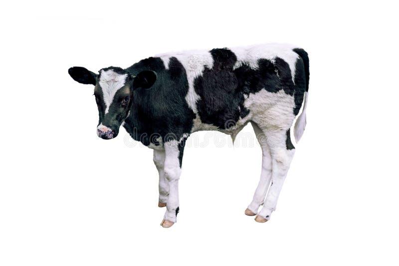 Vaca, vitela no fundo fotos de stock royalty free