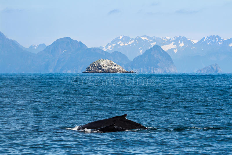 Vaca y becerro de la ballena jorobada, madre y niño imagen de archivo