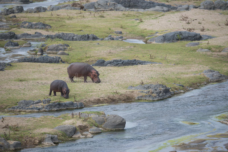 Vaca y becerro del hipopótamo hacia fuera que comen durante el día imágenes de archivo libres de regalías