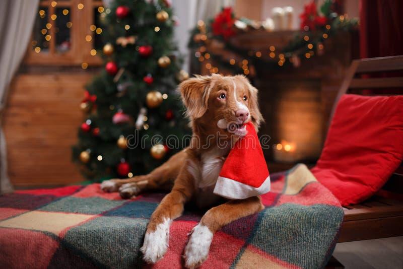 Vacances de Nova Scotia Duck Tolling Retriever de chien, Noël photos stock