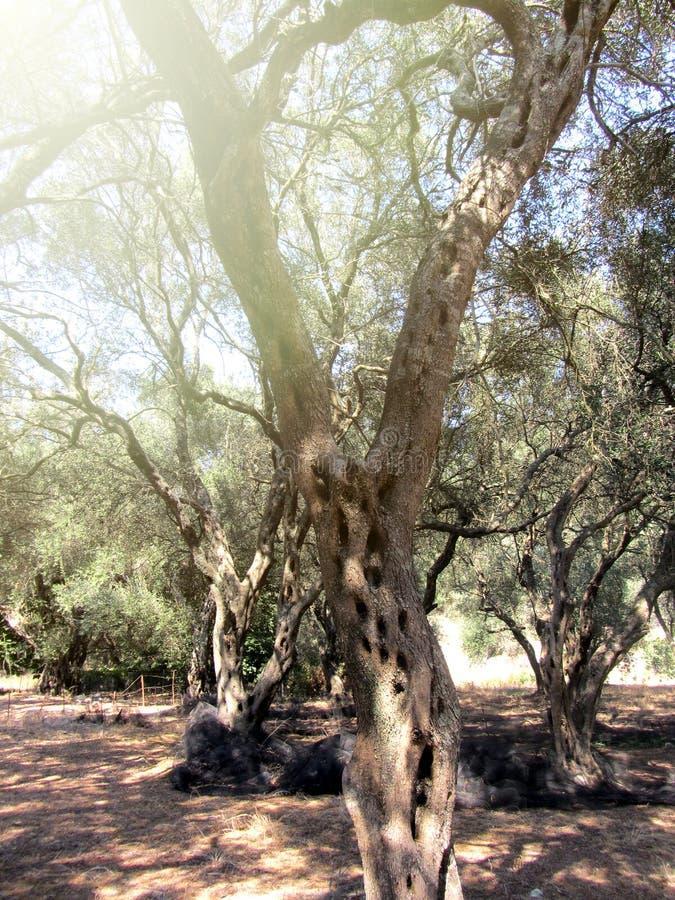 Vacances grecques de détail de verger olive images stock