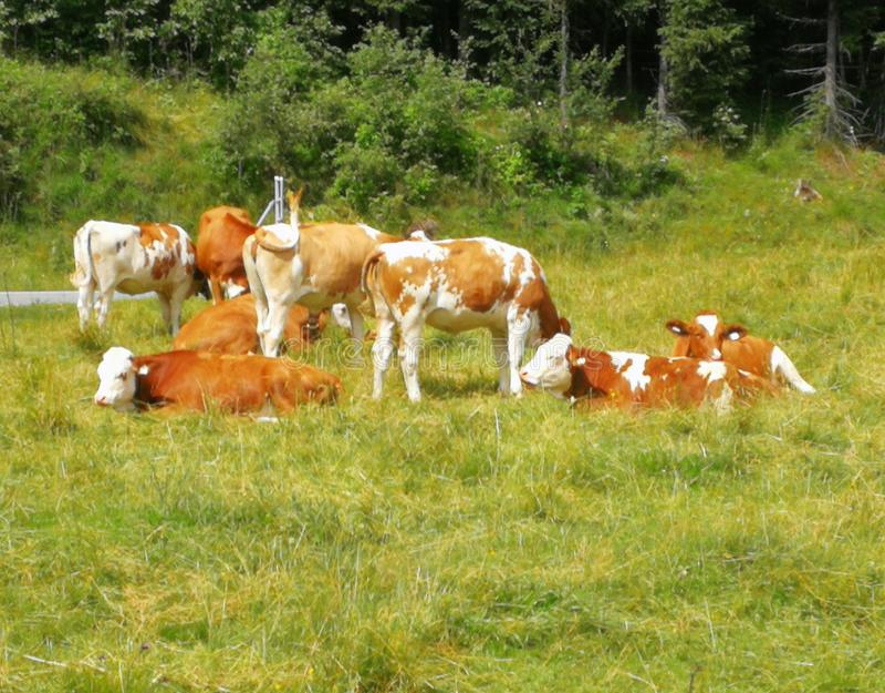 Vacas foto de archivo