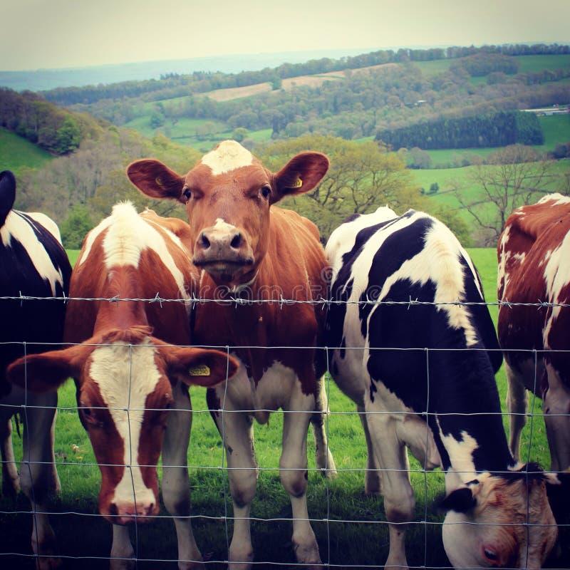 Download Vacas imagen de archivo. Imagen de ahora, vacas, vaca - 44854755