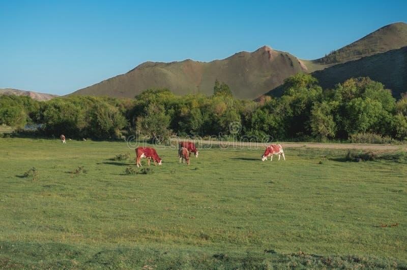 Download Vacas foto de stock. Imagem de montanhas, comer, grama - 65581416