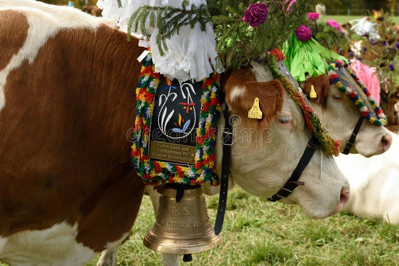 Vacas alpinas adornadas, el Tirol, Austria imagenes de archivo