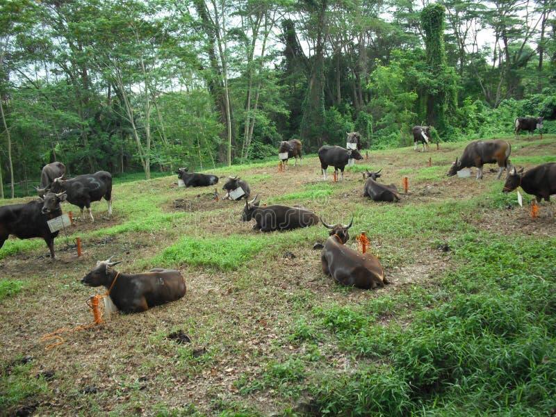Vacas antes de matado al al-Adha del ofEidh de la celebración foto de archivo libre de regalías