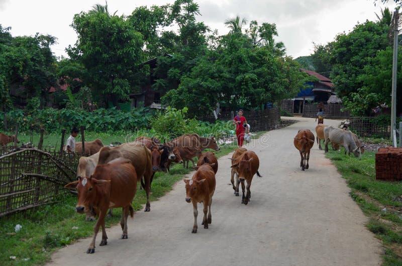 Vacas antes de ordenhar obstruindo a estrada da vila fotografia de stock