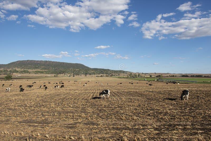 Vacas australianas imagem de stock royalty free