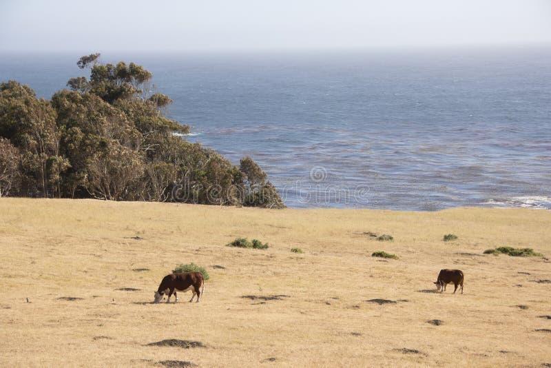 Vacas @ Big Sur, CA #1 fotos de stock royalty free