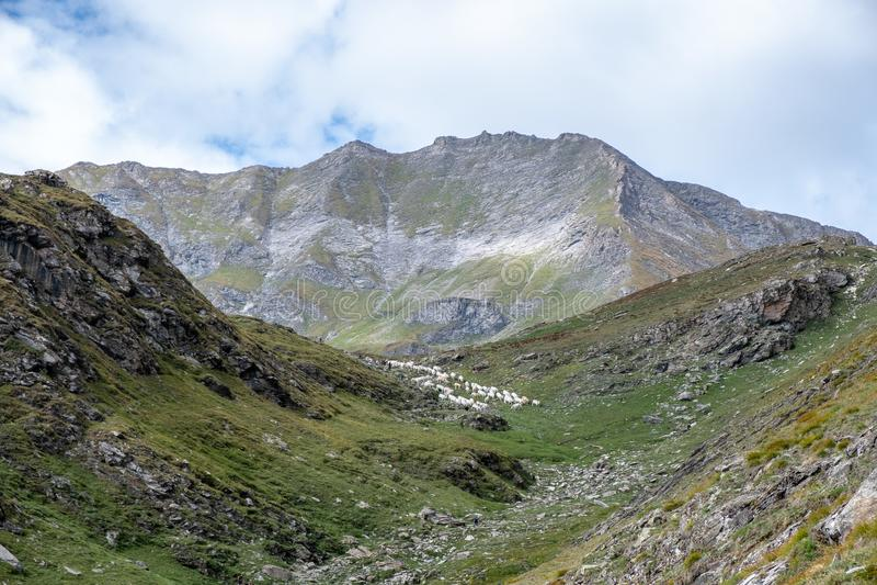 Vacas blancas de Piamonte en montañas italianas del valle foto de archivo libre de regalías