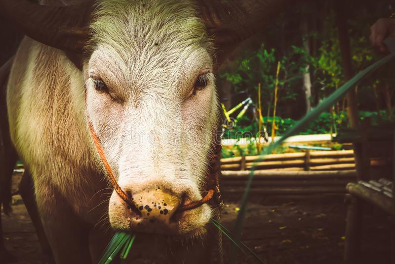 vacas blancas que comen el heno en establo en una granja imagen de archivo libre de regalías