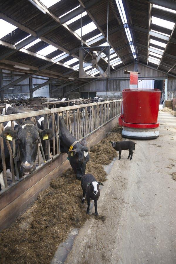 Vacas blancos y negros en la alimentación estable del robot de alimentación imagen de archivo libre de regalías